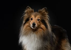Portrait Of A Dog On A Black Background. Pet On The Dark. Red Sheltie In A Photo Studio