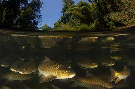 Freshwater fish: Soro Brook Carp in river below waterfall