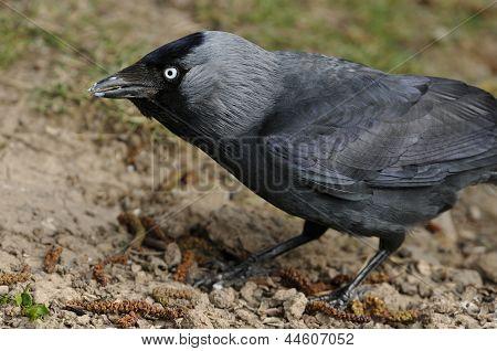 Eurasian Jackdaw