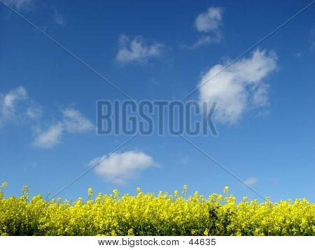 Golden Canola