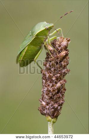 Heteroptera Pentatomidae  On A Flower