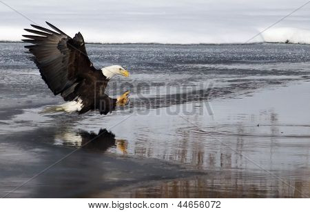 American Bald Eagle Fishing