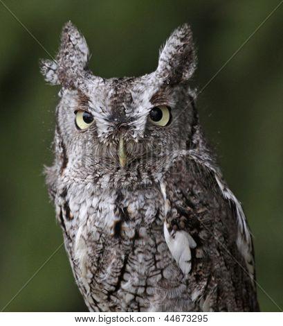 Screech Owl Stare