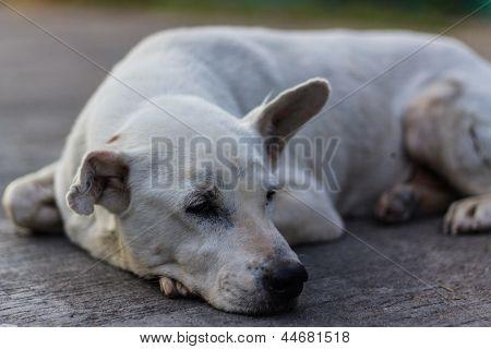 Mirada de perro tailandés