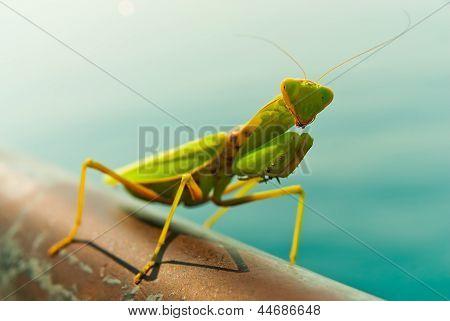 A Mantis posing for the camera.