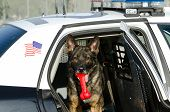 A police dog in the backseat of his patrol car with a toy in his mouth. poster