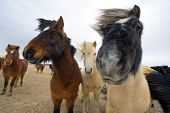 Icelandic horses with different colors are standing in a field poster