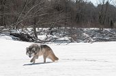Grey Wolf (Canis lupus) Stalks Viewer on Riverbed - captive animal poster