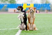 two border collie dogs show trick in the stadium in the rain poster