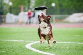 border collie catching disc in jump in competitions poster
