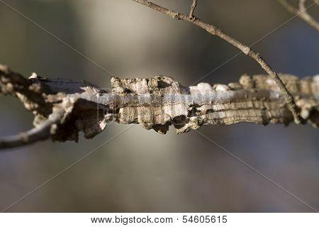 Winged Elm Branch Details