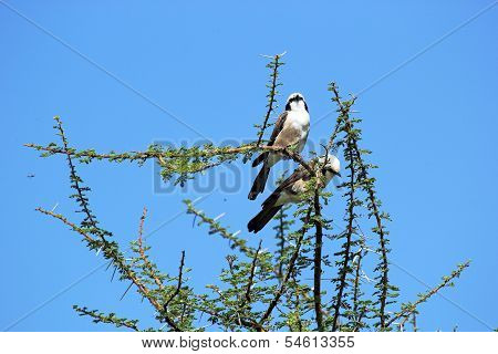 African Birds, Northern White-crowned Shrikes, On A Tree