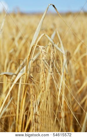 One Spica In Yellow Wheat Field