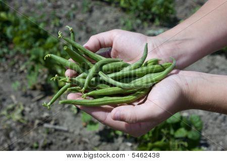 Green Beans In Hands