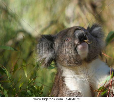 Koala bigsize