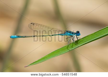 A Tiny Swamp Bluet Damselfly (Azuragrion vansomereni) perched on a leaf poster