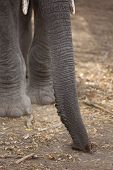 Close up showing trunk of an African Elephant poster