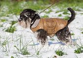 Miniature schnauzer in brown leather jacket walking on snow poster