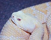 A Close Up of an Albino Western Diamondback Rattlesnake Crotalus atrox poster