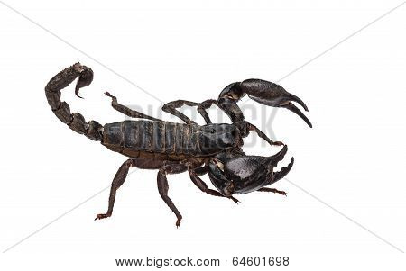 Asian Giant Forest Scorpion (heterometrus Laoticus) Isolated On White Background