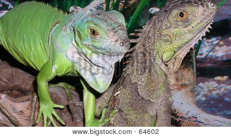 Pairr Of Iguana's