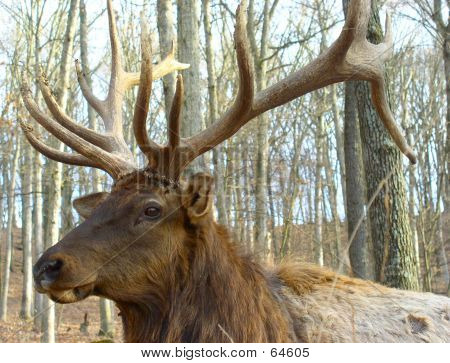 Close Up, Head Shot, Elk