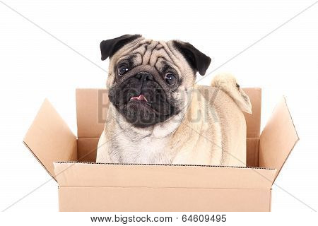Pug Dog In Brown Carton Box Isolated On White