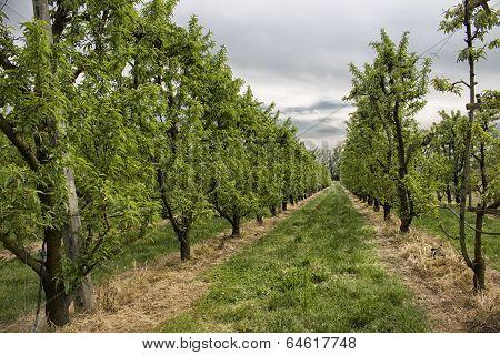 Peach Trees Rows