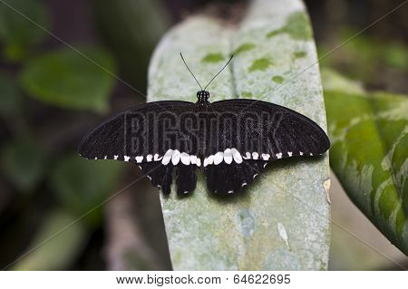 A Large Mormon Butterfly