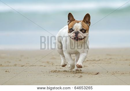 French Bulldog Dog At The Beach