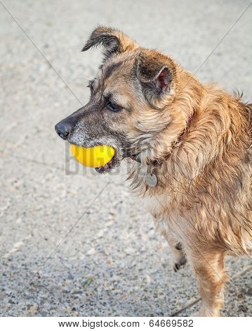 Happy Rescue Dog Fetching A Yellow Ball