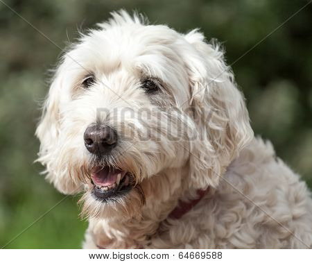 Soft Coated Wheaten Terrier Looking Away