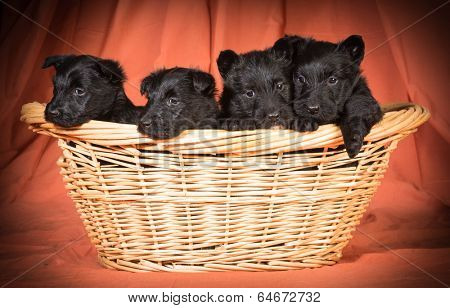 litter of scottish terrier puppies in a basket isolated on white background