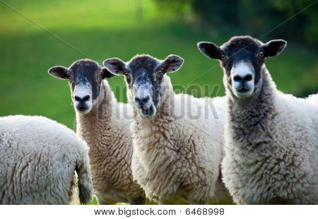 Three Sheep Standing In A Line - Focus On Middle Sheep