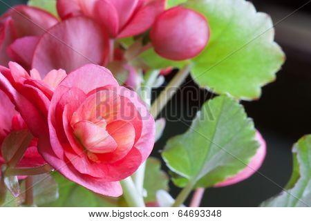 Begonia Blooms