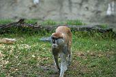 patas monkey walking sneakily poster