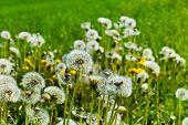 dandelion, dandelions, symbol photo for volatility, lightness and spring poster