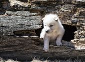 Young baby timber wolf or gray wolf pup, emerging from fallen, hollowed tree log. poster