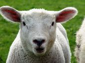 portrait of a lamb on a meadow poster