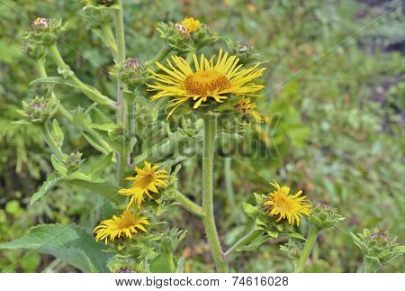 Medicinal Herb Elecampane