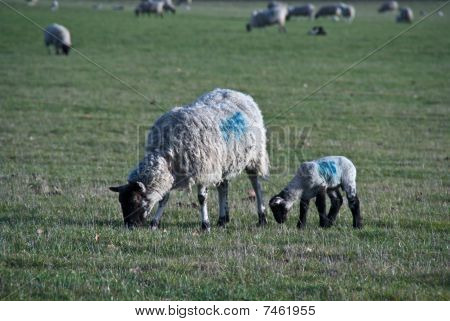 A Sheep And Lamb Graze In A Field