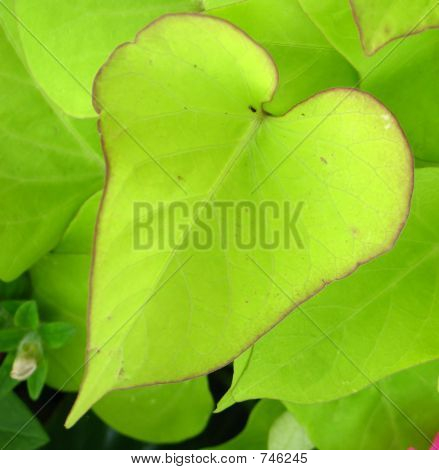 Heart shaped leaf