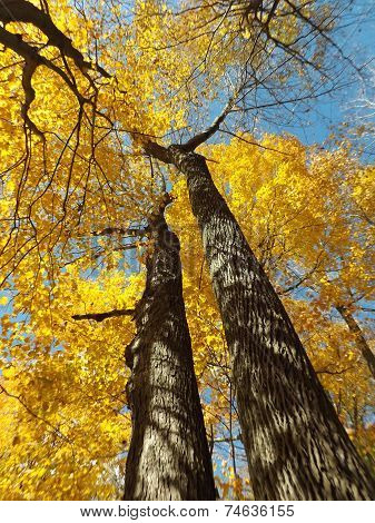 Looking up at Bright Yellow Fall Trees