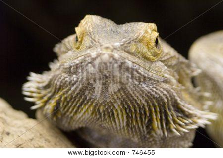 Australian Bearded Dragon - Pogona Vitticeps