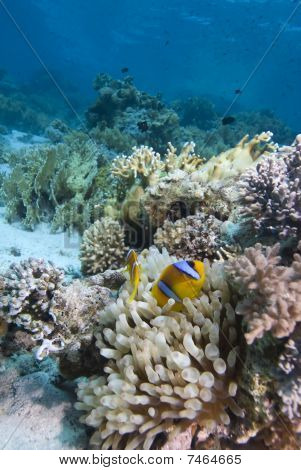 Pez de anémona de mar rojo