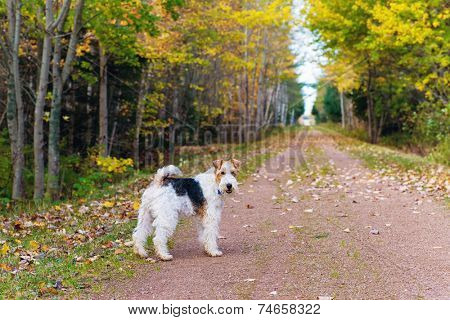 Wire fox terrier on the portion of the Trans Canada Trail in rural Prince Edward Island, known as the Confederation Trail.