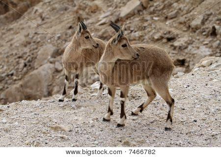 two beautiful wild goats