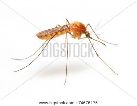 Anopheles mosquito, dangerous vehicle of infection.
