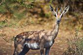 A Grant's Gazelle near Lake Bogoria Kenya poster