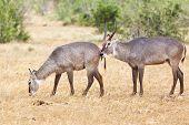 Waterbucks in Tsavo East National Park Kenya poster